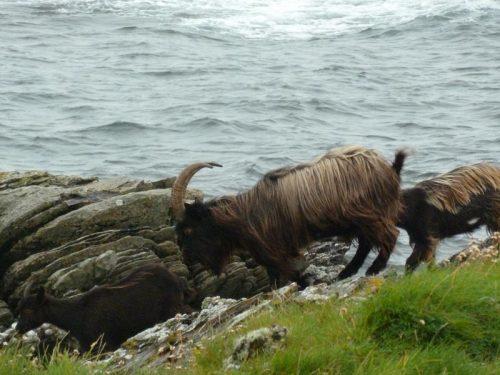Goats a