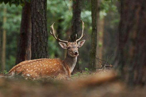 Fallow Deer pic