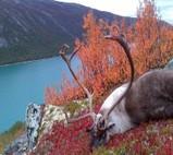 ReindeerNorwayx