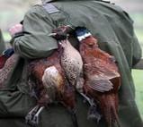 pheasantsx