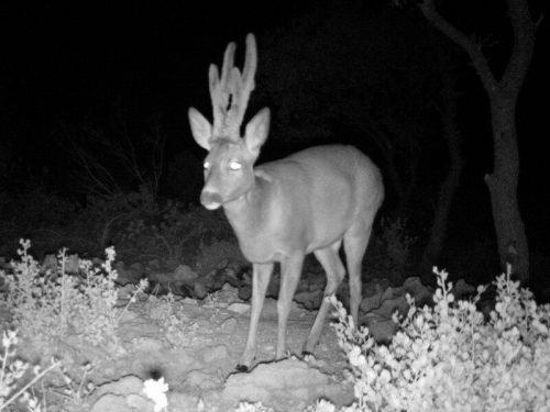 Buck at night