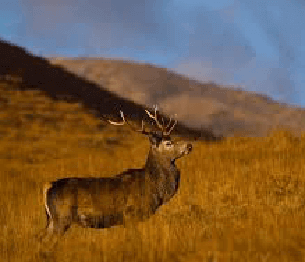 Red Deer Hunting 2