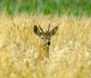 Roe Deer Stalking 1