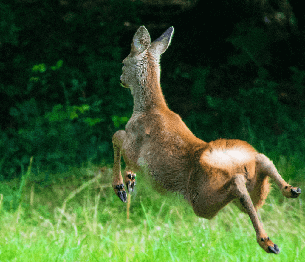 Roe Deer Stalking 3