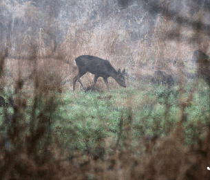 Roe Deer Stalking 4
