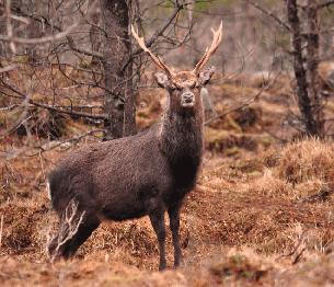 Sika Deer Stalking
