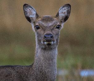 Sika Deer Stalking 2