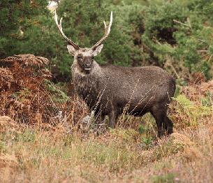 Sika Deer Stalking 3