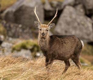 Sika Deer Stalking 4