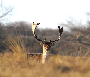 Fallow Deer Stalking 1
