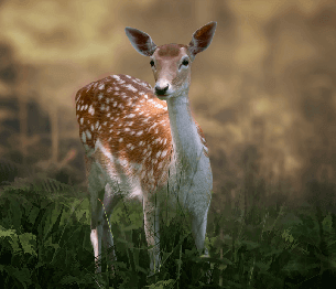 Fallow Deer Stalking 3