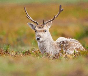 Fallow Deer Stalking 4