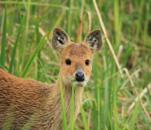 Chinese Water Deer Stalking 1