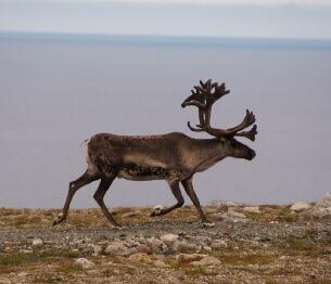 Reindeer Hunting 2