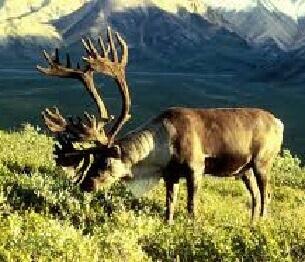 Reindeer Hunting 4