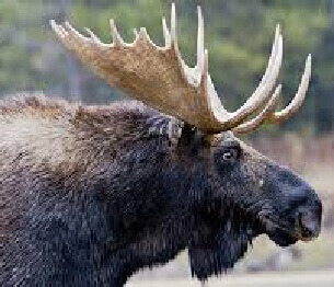 Moose Hunting 4
