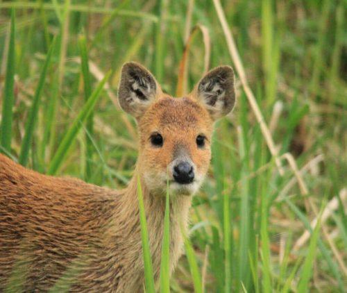 Chinese Water Deer Stalking England