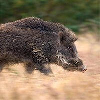 Driven Wild Boar