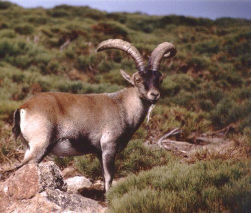 Ibex Hunting Spain