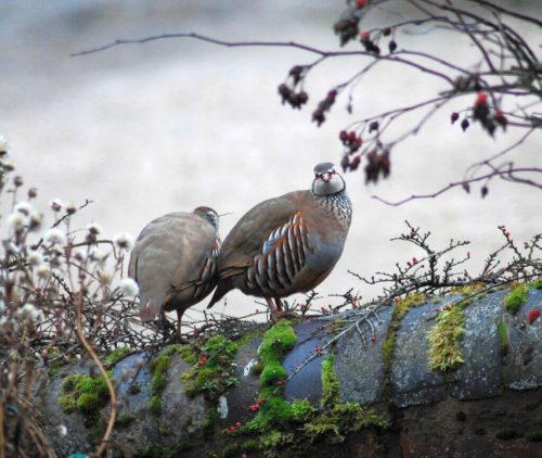 PartridgeShootingScotland