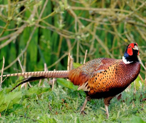 Pheasant Shooting Scotland