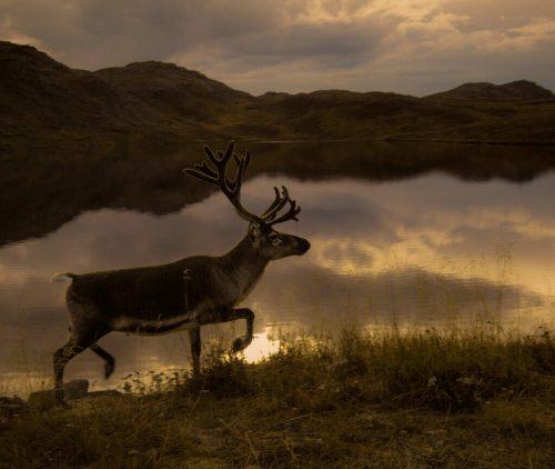 ReindeerHuntingNorway