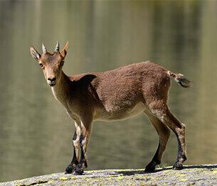 Ibex Hunting 2