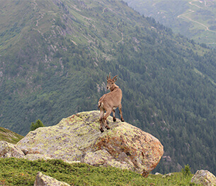Ibex Hunting 4