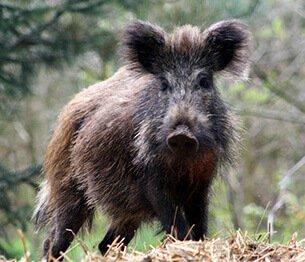 Driven Wild Boar 1